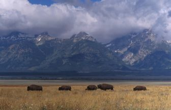 Bizons in Grand Teton NP in Wyoming