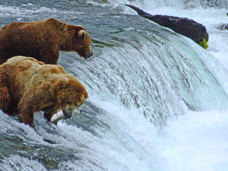 Grizzlies in Katmai National Park