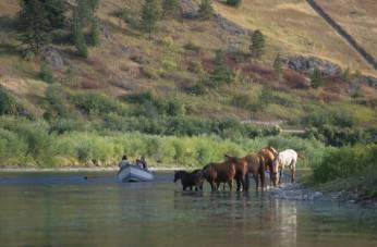 Wilde paarden drinken uit de Missouri