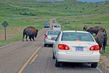 Bizons in North Dakota
