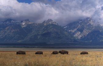 Bizons in Grand Teton NP in Wyoming