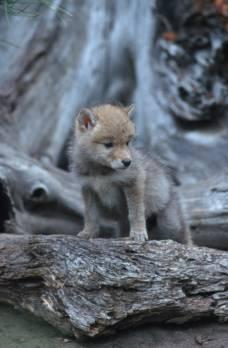 Jonge coyote